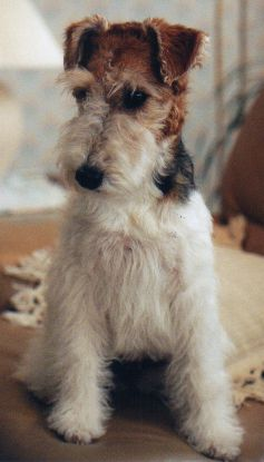 A 1 Year Old Wire Fox Terrier Puppy