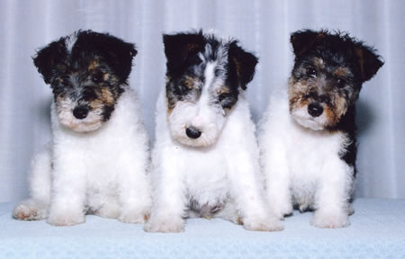 Wire fox terrier breeders canada